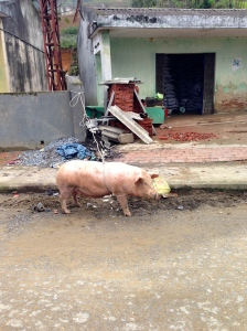 A pig being readied for market